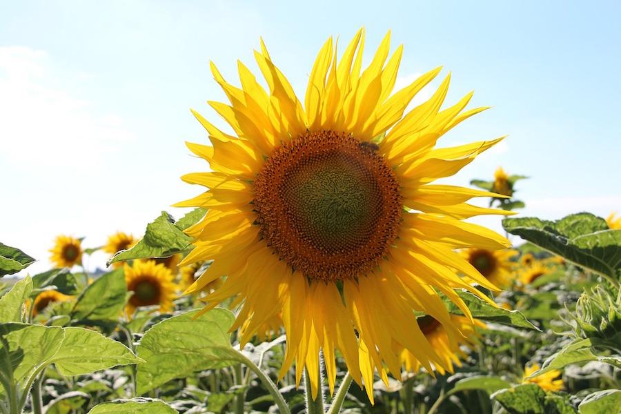 sunflower-charente